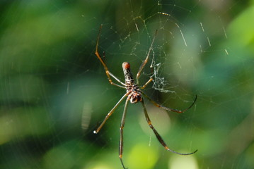 Spider in rainforest of Iguasu