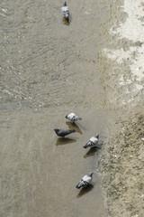 palomas bebiendo agua