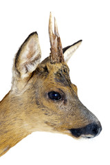 Portrait of a roe deer