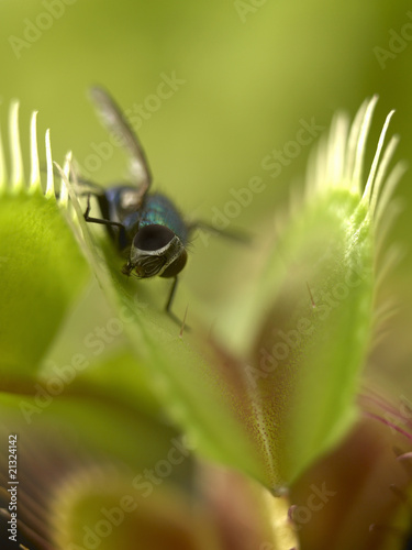 Close up of fly standing on venus flytrap