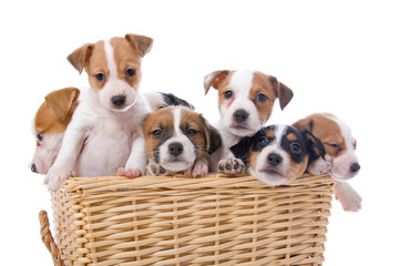 group of cute jack russel terrier