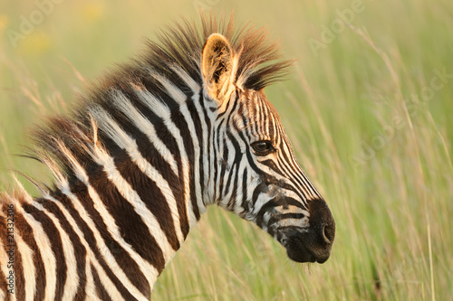 Young Baby Zebra Portrait