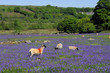 Sheep and bluebells on Dartmoor