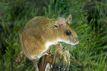 Yellow-necked Wood Mouse