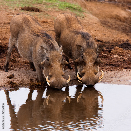 Warthogs drinking in Addo national park, South Africa