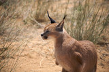Caracal in Harnas Foundation in Namibia poster