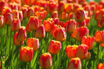 Tulpenüberfluss