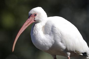 american white ibis, eudocimus albus