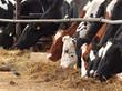 Kühe beim Fressen