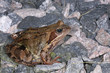 rana temporaria, common frog