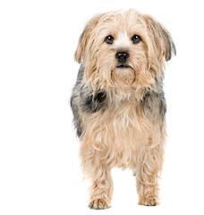 Yorkshire Terrier Cross Standing