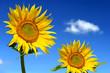 Sonnenblumen 104