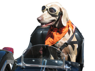 cane motociclista con sfondo bianco