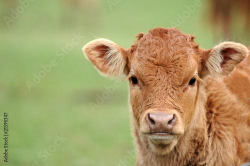 Papiers peints Vache portrait de veau