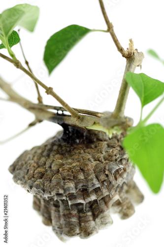 Staande foto Kameleon nid de guêpes, fond blanc