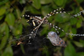 araignée11
