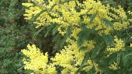 mimosa en fleur