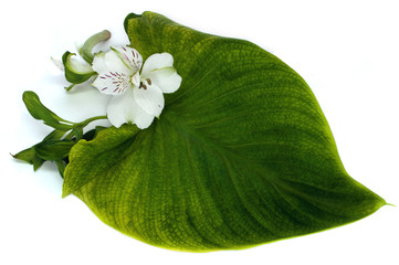 Tender orchid with green leaf