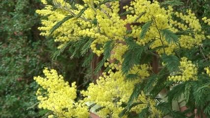 apparaitre derrière les mimosas en fleur