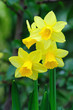 Yellow dwarf trumpet daffodils with tiny white petal tips