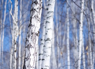 winter birch tree forest, the environmental background