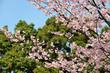 Tokyo, Sakura