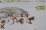 Enten und Flußpferde