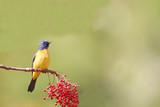 Niltava vivid,wild bird,taiwan,asia. poster