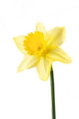 single daffodil on white