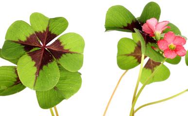 trèfle à quatre feuilles, fleurs, fond blanc