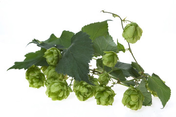 Detail of hop cone and leaves on white background
