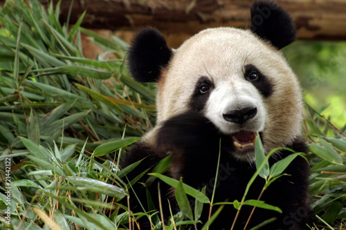 Keuken foto achterwand Panda Panda frisst Bambus