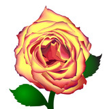 Beautiful vector rose on white background