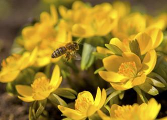Honigbiene im Flug