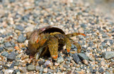 Hermit crab 15 poster
