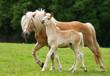 Fototapeten,stute,fohlen,pferd,blond