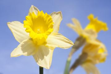 daffodil on blue sky