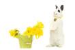 Kaninchen und Narzissen