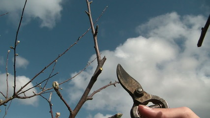 Branch Prune Trimming the fruit tree
