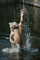 white tiger trying to catch his prey