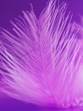 Fragment of pink feather on a violet background