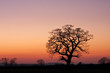 Silhouetted tree in a field at sunset