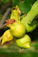 Piccoli Bio Lemon crescono