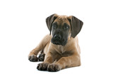 great dane puppy dog poster