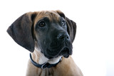 head of a great dane puppy dog looking up poster