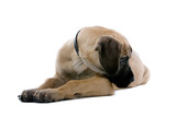 great dane puppy dog watching down on one side poster
