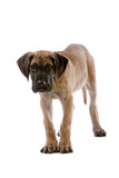 great dane puppy dog looking at camera poster