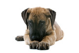 puppy of a great dane lying on the floor poster