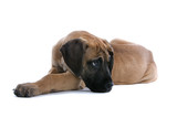 great dane puppy dog resting poster