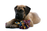great dane puppy dog hugging a toy poster